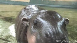Baby Hippo Monifa takes her first swim