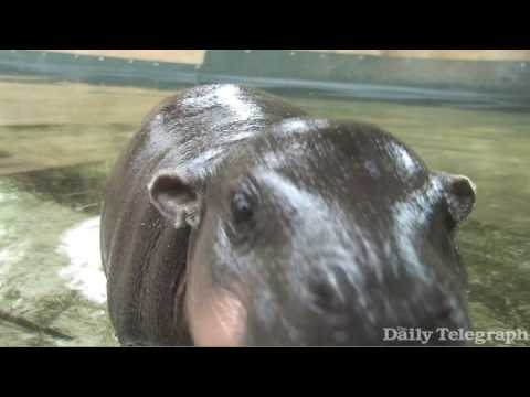 Baby Hippo Monifa takes her first swim at Sydney's Taronga Zoo