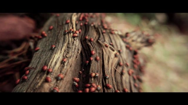 Ladybug swarm and how they reveal their wings to fly