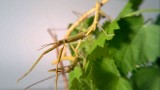 Indian Walking Sticks: Watch this twig-like insect eat a leaf