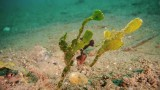 Robust Ghost Pipefish camouflage