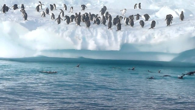 Penguins can't fly, but they can jump