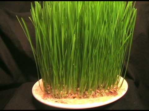 Time lapse sprouting wheat grass