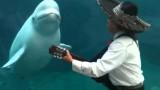 Juno the Beluga Whale Likes Mariachi Music