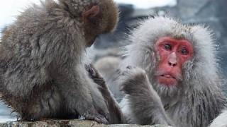 Jigokudani Yaen-koen: Snow Monkeys (Japanese macaques)