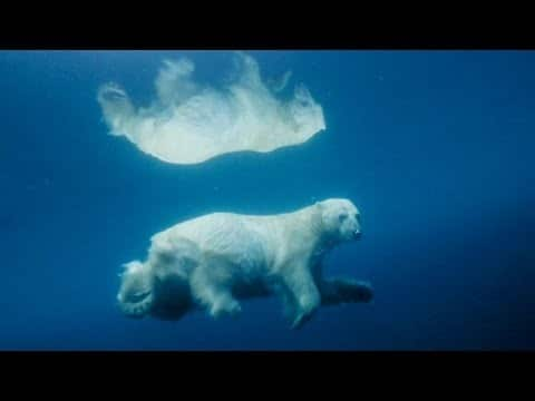 Photographing polar bears underwater