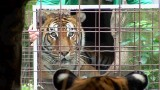 Big Cats and Mirrors at Big Cat Rescue