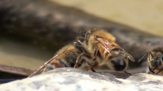 Honey Bees Drinking Water in Slow Motion