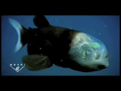 The strange and amazing barreleye fish
