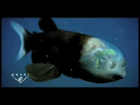 The strange and amazing barreleye fish