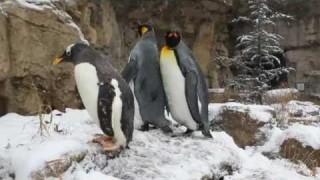 King penguins take a walk