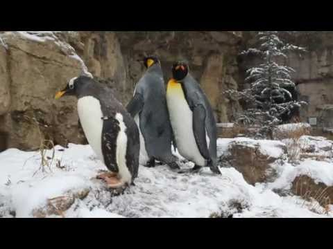 King penguins take a walk
