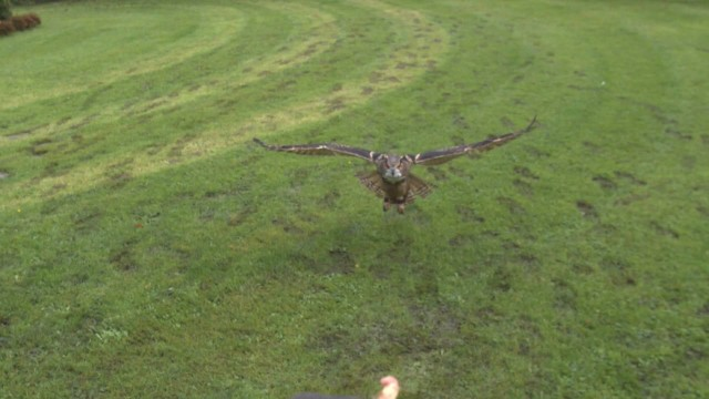 Slow motion wonder: Eurasian Eagle Owl landing