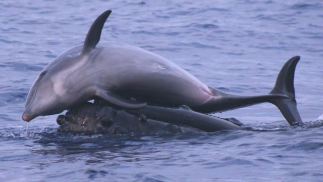 Whales Give Dolphins a Lift