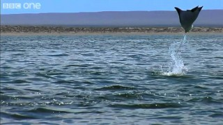 Earthflight: California Devil Rays Leap from the Pacific