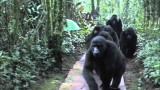 Chance encounter with a family of wild mountain gorillas
