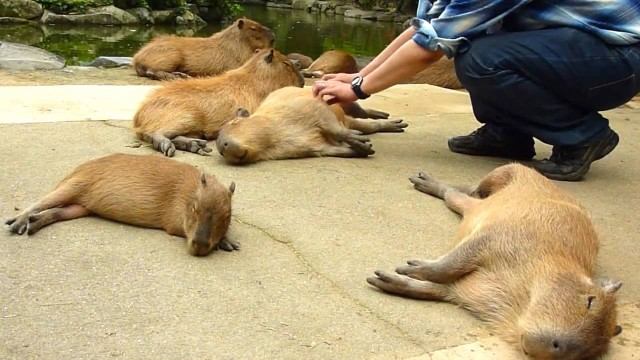 """Enjoy scratching with many capybaras"" while they sleep"
