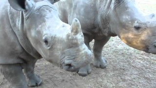What does a baby rhino sound like?