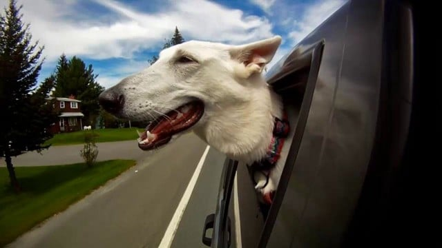 (Really Happy) Dogs in Cars