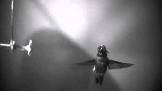 Spinning hummingbird shakes off raindrops