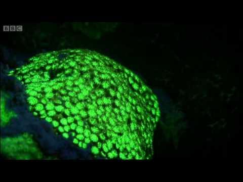 BBC Oceans: Underwater fluorescence