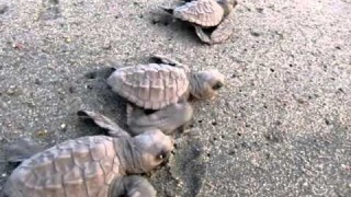 Olive Ridley Sea Turtle hatchlings scurry out to sea