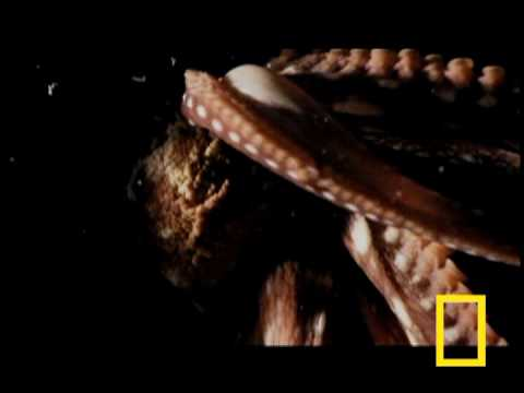 The unusual locomotion of a boneless, 600lb octopus