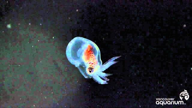 Baby Octopus at the Vancouver Aquarium