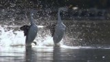 """The """"dance"""" of the Clark's Grebes"""