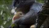 Phayre's Leaf Monkeys with a bright orange baby
