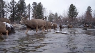 A Deer Migration You Have to See to Believe