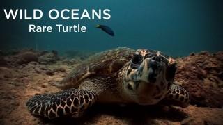 Hawksbill turtle snacks on a jellyfish