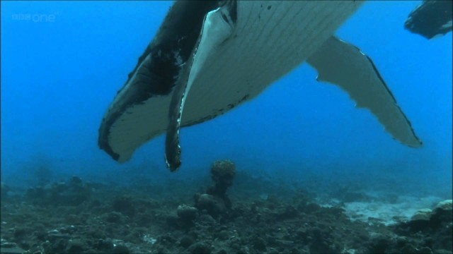 The mysterious song of the Humpback Whale