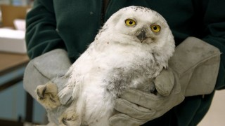 Imping an injured owl's wing to make it stronger