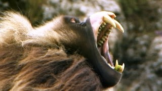 Fearsome Teeth of the Gelada Baboon