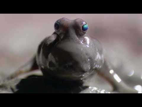 The Mudskipper – An amazing amphibious fish