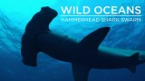 Wild Oceans: Hammerhead Shark Swarm