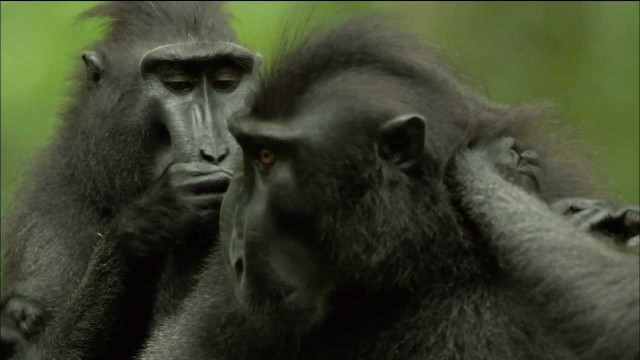 The Funkiest Monkeys: Crested Black Macaques