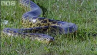 An anaconda gives birth underwater