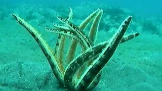 A Nine Armed Sea Star flips itself over