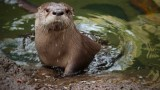 A baby otter gets a swimming lesson from its mother