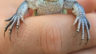 Four-Toed Whiptail Lizard (Teius Teyou) –Planet Paraguay