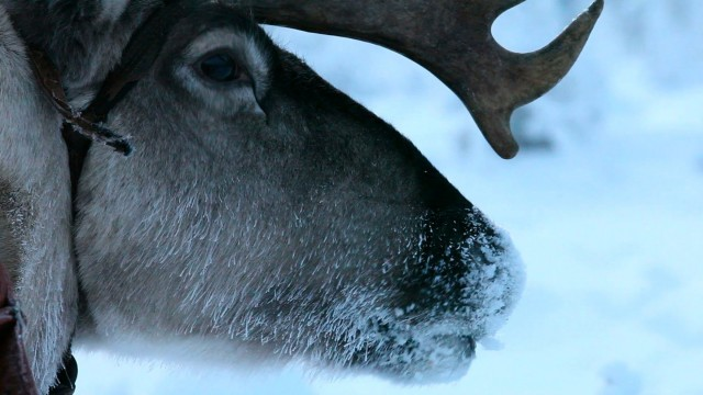 Arctic Cowboys: Hitch a Ride with Reindeer Herders in Finland