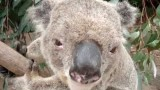 The koala's deep voice