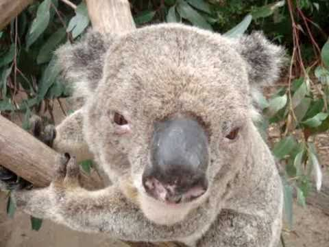 The koala's deep voice