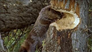 Ecosystem Engineers: How do beavers build dams?