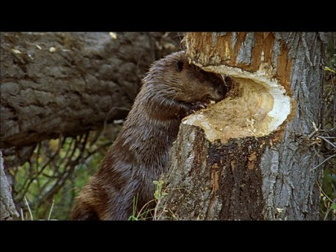 Ecosystem Engineers: How do beavers build dams?