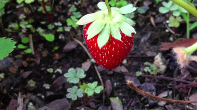 From a flower to a strawberry in 30 days