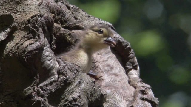 Mandarin ducklings dive