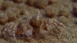 Sand Bubbler Crabs Making Sediment Balls on an Australian Beach